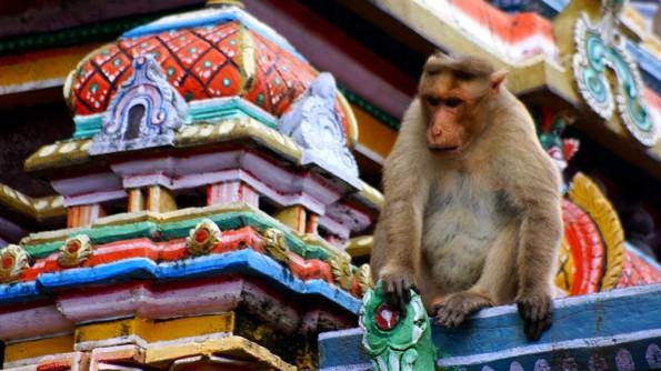 Храмовая обезьяна в Чидамбараме. Тамил Наду. Индия (c)inditrip.net